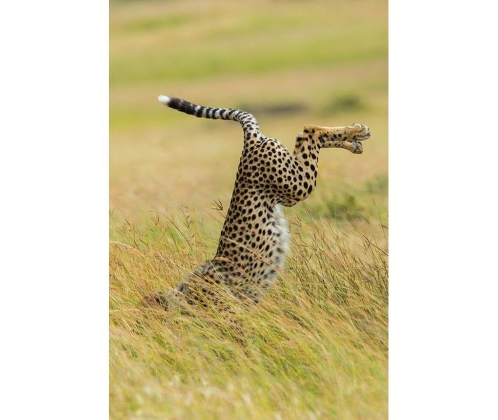 cheetah.0