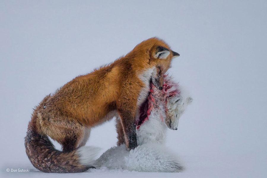 wildlife photographer year 2015 Don Gutoski
